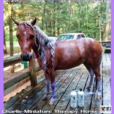 Charlie Miniature Therapy Horse