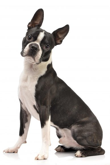 Boston Terrier - learn how to minimize shedding in dogs