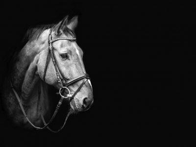 black and white horse photos