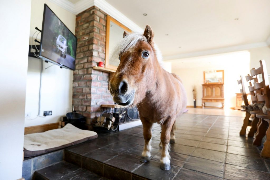 Horse in the living room